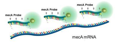 mecA probe